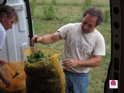 Cueillette des feuilles de cassis Fruirouge - Voir en grand