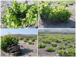 Culture de la vigne à Santorin en Grèce  - Voir en grand