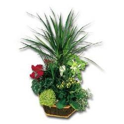 PLANTES VERTES, PLANTES FLEURIES - PLANTES - GERIN FLEURS - Voir en grand