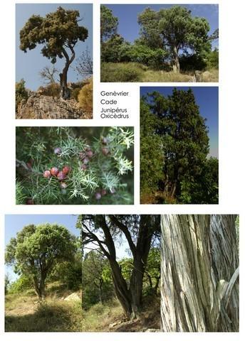 QUESACK photos-cades arbre genevrier-copier.jpg - Voir en grand