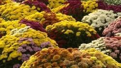 chrysanthème Pompon uni plantes pour cimetiere - Voir en grand
