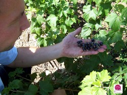 Cassis de Bourgogne IGP Ferme Fruirouge - Voir en grand