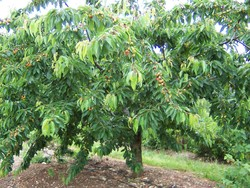 Ferme-Fruirouge-Cerisier - Voir en grand