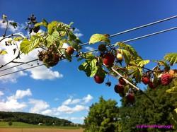 Framboises Ferme Fruirouge - Voir en grand