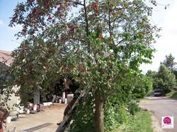 Fruirouge-cueillette-cerises - Voir en grand