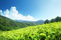 LE THÉ DU MOIS ( promotion ) -  LE THÉ DU MOIS  EN PROMOTION - CALISA :  vente  thés,cafés et infusions - Voir en grand