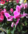 CYCLAMEN ROSE RM ENTREPOT.PNG