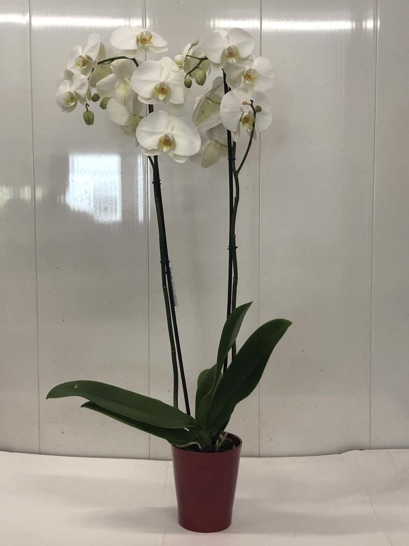 Grande Orchidée Blanche à deux tiges  - Plantes  - Fleurs de l'est  - Voir en grand