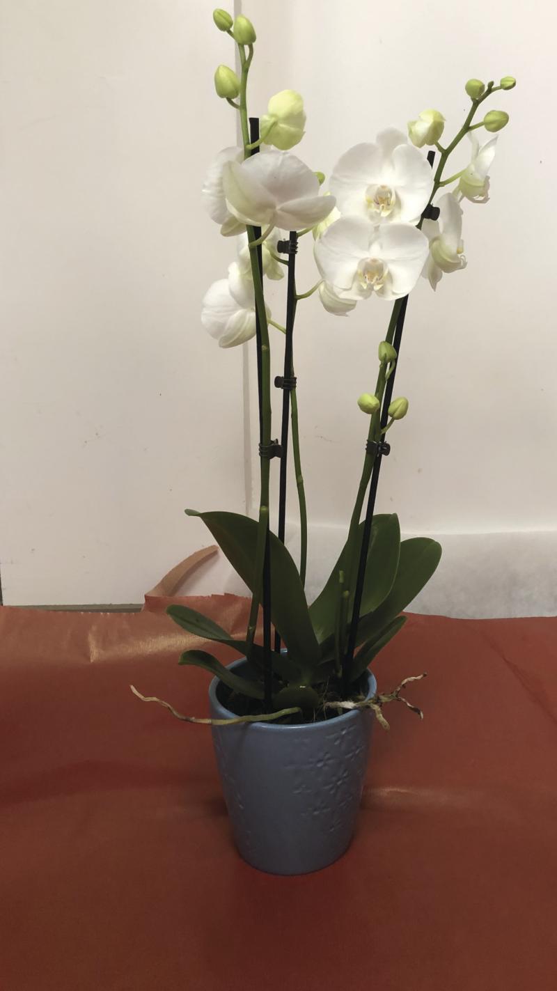 ORCHIDEE 3 ET 4 TIGES -  - Fleurs de l'est  - Voir en grand