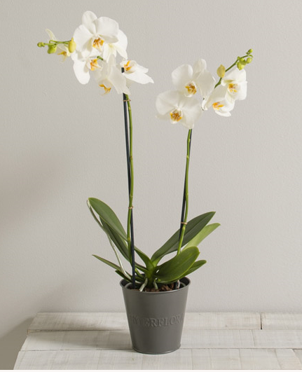 Camillia - Plante fleurie - Fleurs Vetter... Votre fleuriste à Thann - Voir en grand